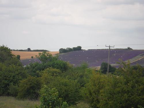 Hitchin Lavender Farm, from bridge over East Coast Mainline