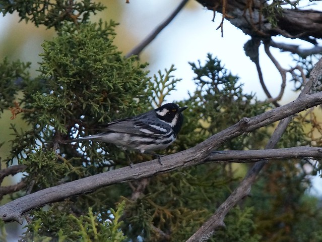Black-throated Gray Warbler (#358), Sony SLT-A57, Tamron SP 150-600mm F5-6.3 Di USD