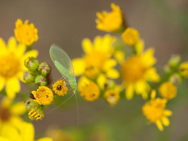 gaasvlieg - green lacewing, Nikon D700, Sigma APO Macro 150mm F2.8 EX DG HSM