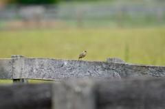 Grasshopper Sparrow, Virginia