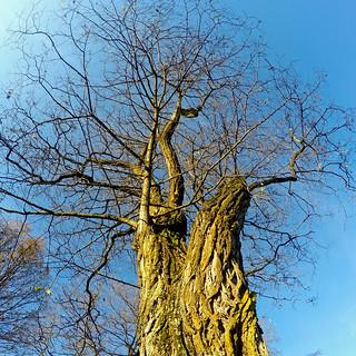 Tree at 8th & Columbia