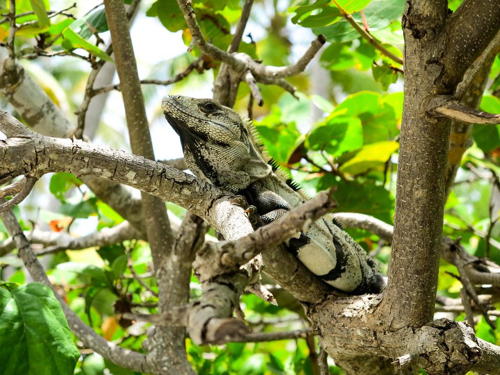 iguana en Contoy