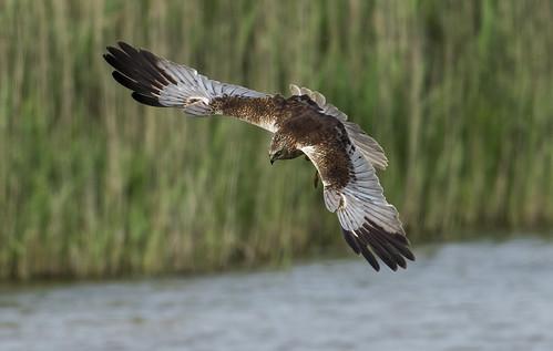 Marsh Harrier going for a catch