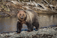 Grizzly Lamar River