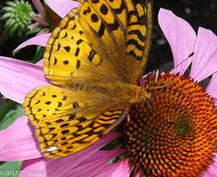 Great Spangled Fritillary Butterfly 20170702_141038-17.jpg