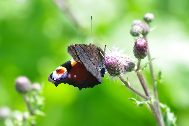 Peacock butterfly in shallow, Nikon D90, AF Nikkor 70-210mm f/4-5.6D
