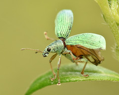 Green Immigrant Leaf Weevil Taking Flight