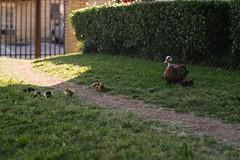 Duck fambly