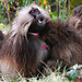 Gelada Baboon (Helen Pinchin)