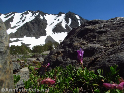Wildflowers in the rocks of K19 Viewpoint along the Virginia Lakes Trail in the Hoover Wilderness of California