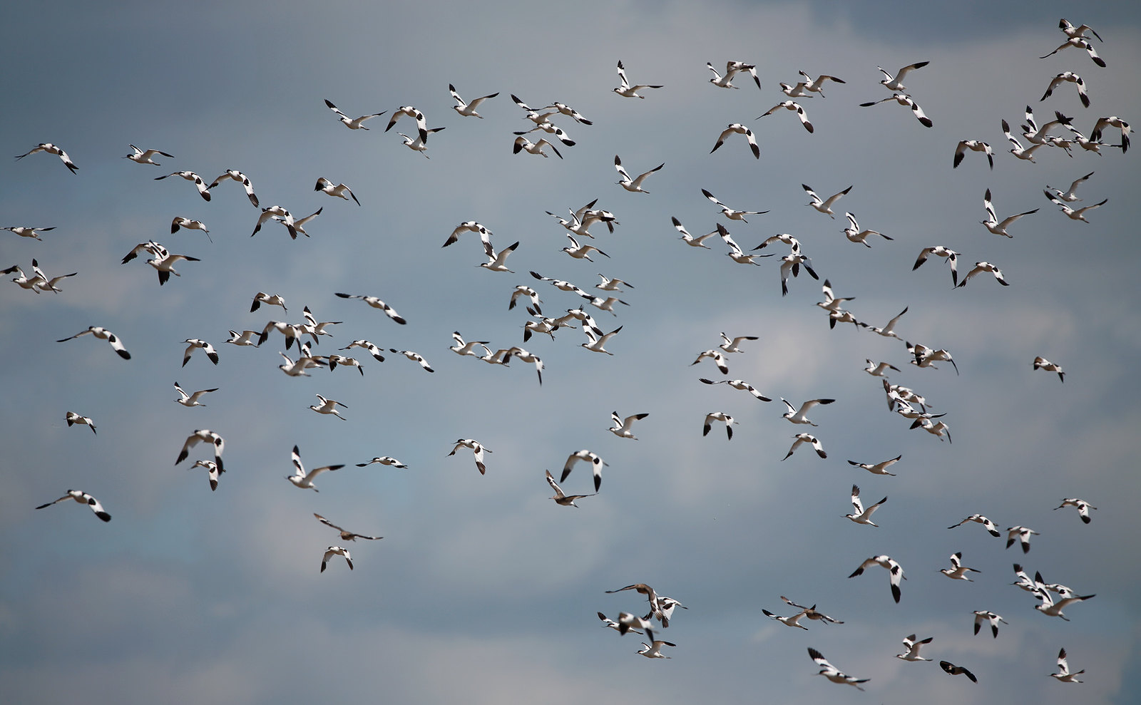 Avocets in flight