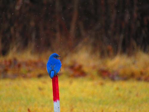 Colorful bird in the snow. Photographer Joann Kraft