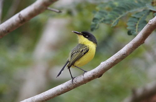 todiroste familier / common tody  / todirostrum cinereum