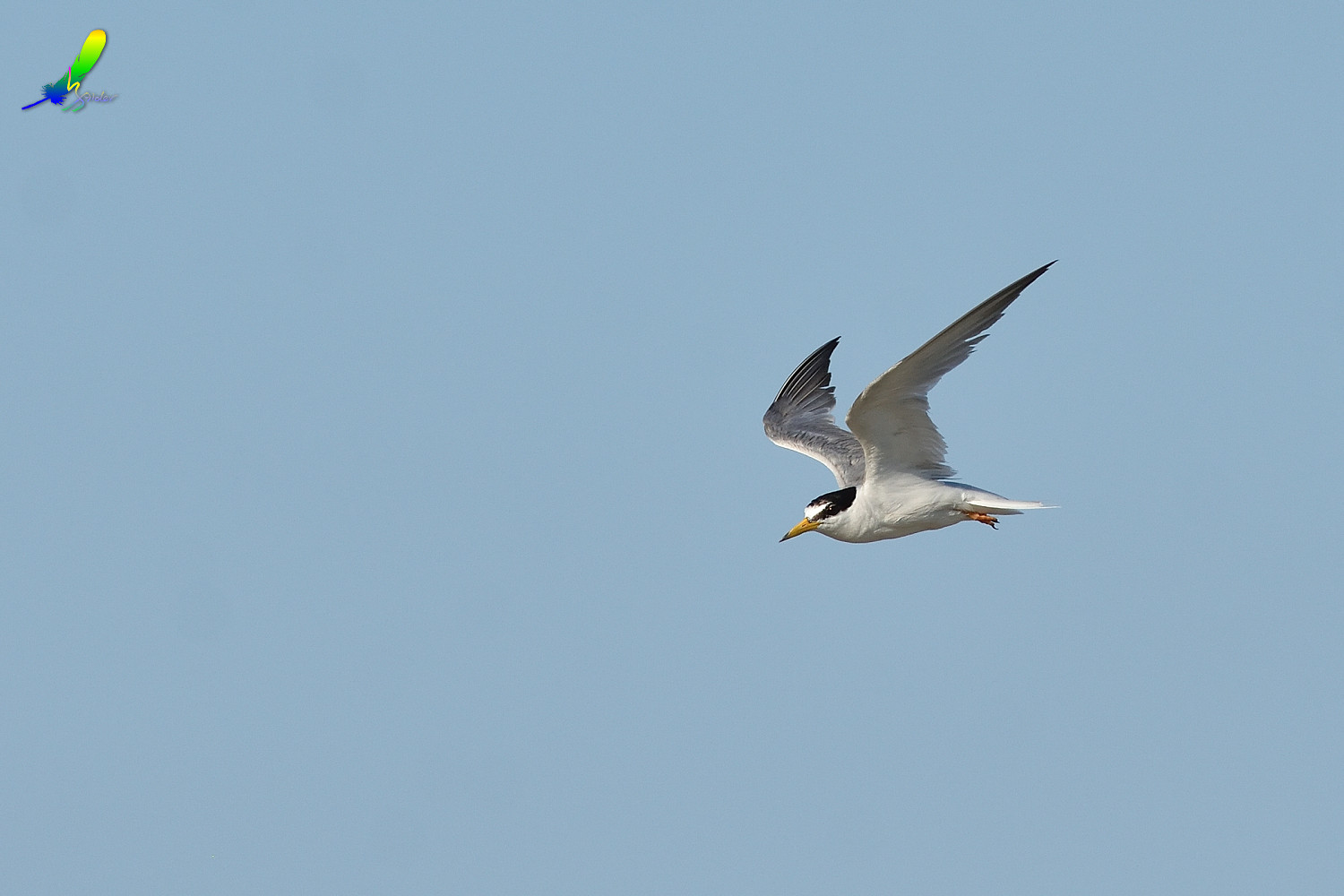 Little_Tern_0157
