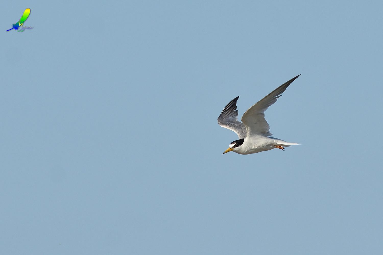 Little_Tern_0157