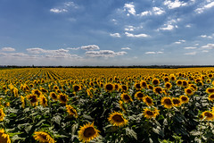 French Sunflowers - Photo of Sainte-Néomaye