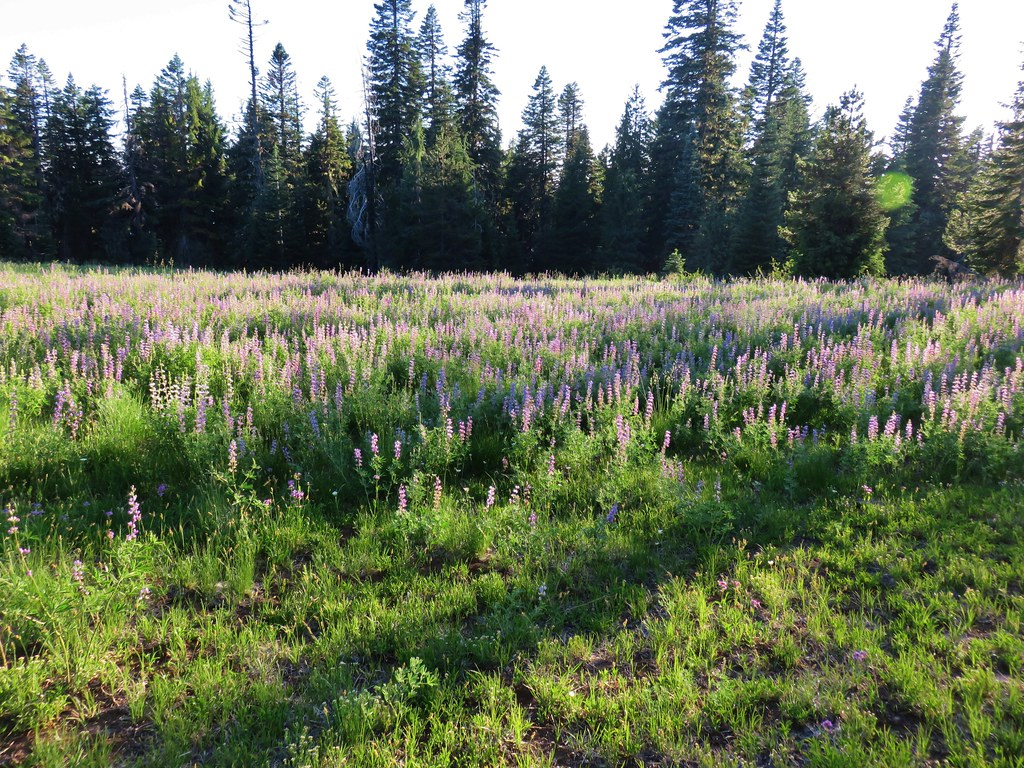 Lupine in the morning light