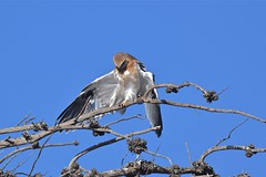 Black shouldered Kite  ( one of the four waiting on more food