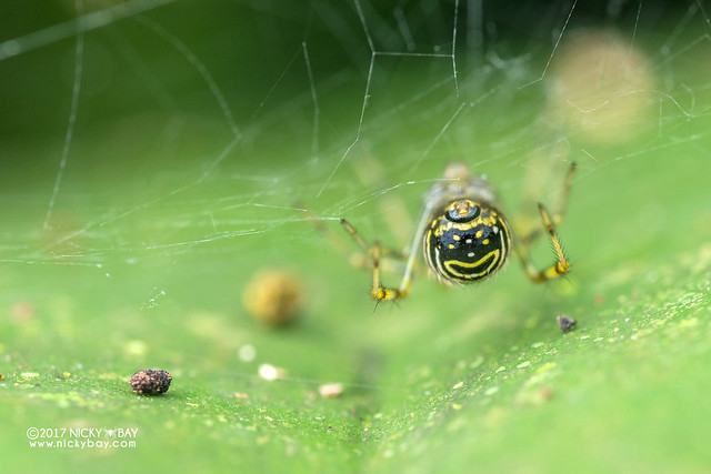 Comb-footed spider (Theridion sp.) - DSC_7218