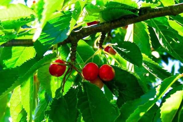 Kirsebær /Cherry / kirschen