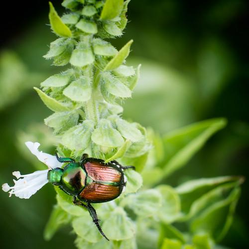 Japanese Beetle--2500