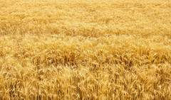 Spikelets winter wheat (Triticum L.) on the private sector in the summer