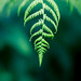 Just a Fern! (Lensbaby Velvet 85)