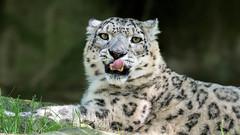 Schneeleopard (Snow Leopard)