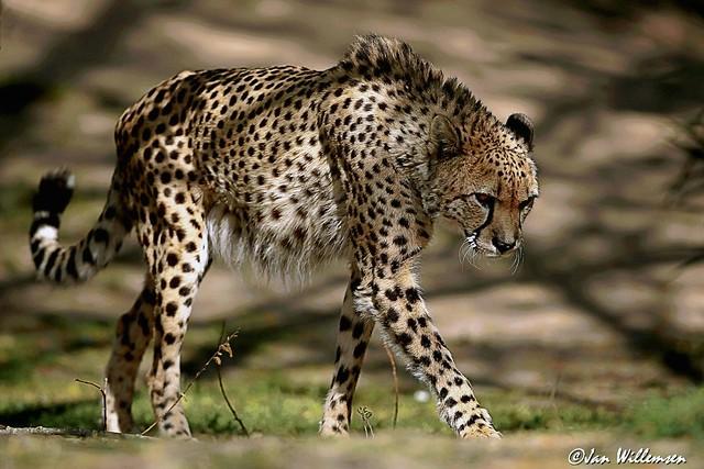 Cheetah - 0130404