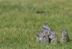 Ground Squirrel Family - 1058b+