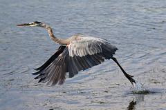 Great Blue Heron Water Takeoff