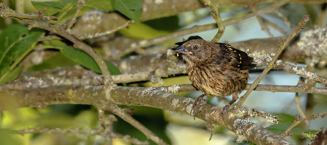 Immature Spotted Towhee