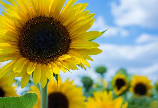 Sunflowers, Sony NEX-7, Sony E 18-200mm F3.5-6.3 OSS