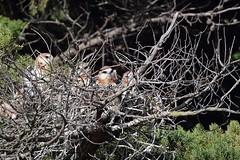 Black - shouldered Kites ( 4 juv. )