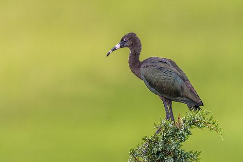 ocnjrookery juniper rookery wildlife nature bird ocnj ocnjvisitorscenter ibis glossyibis green fledgling juvenile oceancity newjersey unitedstates us d800e nikon