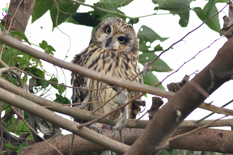 Short-eared_Owl_3547