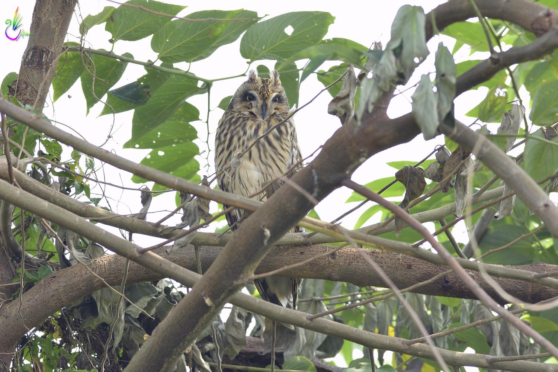 Short-eared_Owl_3142