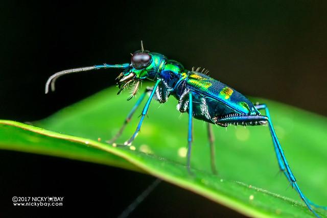 Tiger beetle (Cylindera sp.) - DSC_7378