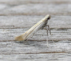 Aspilapteryx tringipennella Tophill Low NR, East Yorkshire July 2017