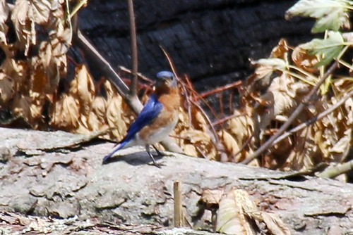 IMG_10362_Eastern_Bluebird_at_Ouabache