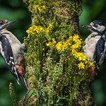 GREAT SPOTTED WOODPECKERS Father & son doing well
