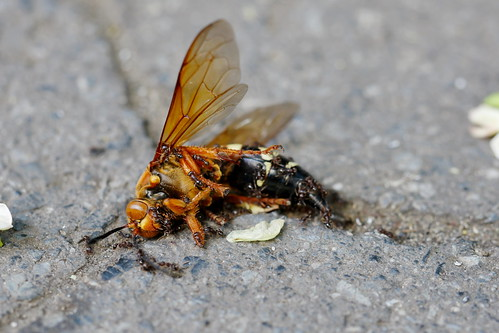 Cicada Killer Wasp covered with ants