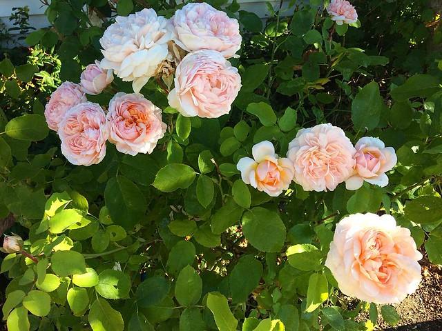 Mmmm roses 💕