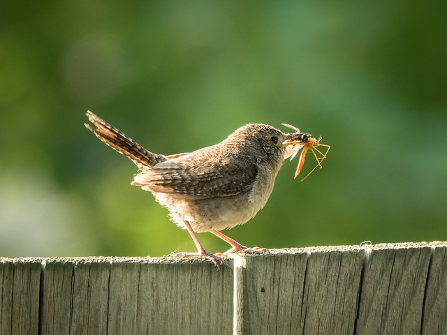 house wren with bug