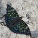butterflies (蝶)