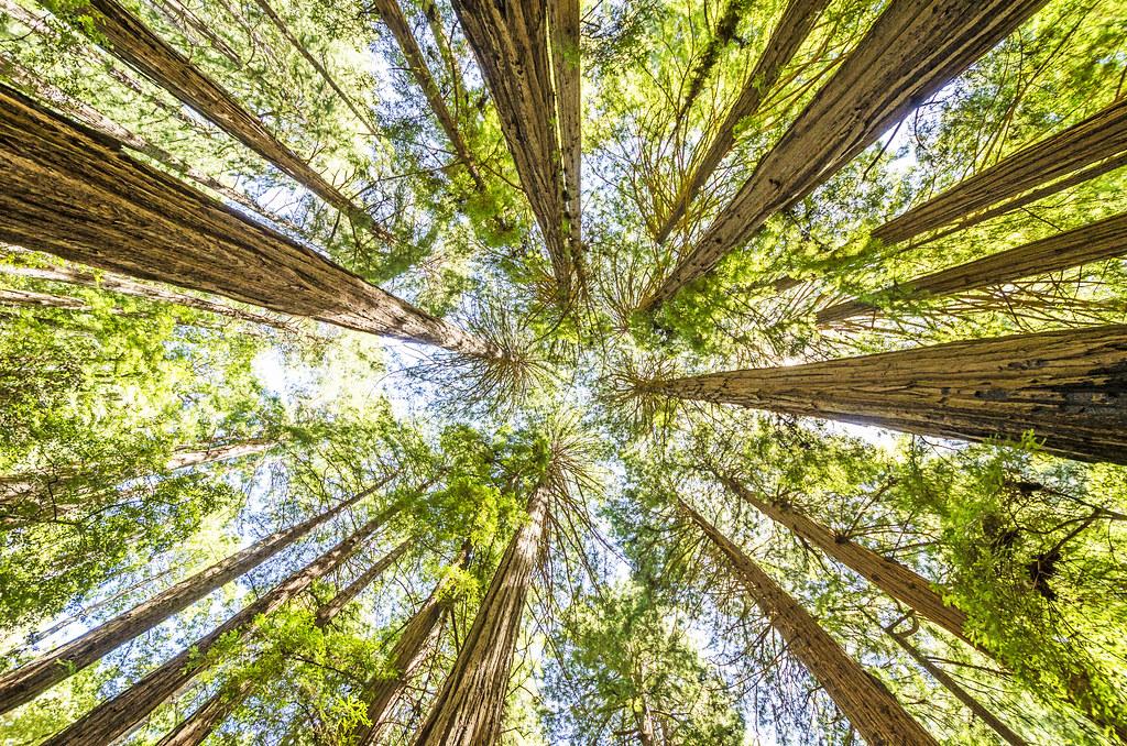 Redwoods of Muir