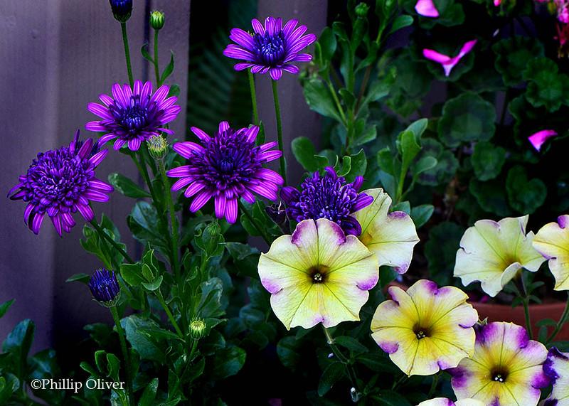 Petunia 'Moonstruck' and Osteospermum (African Daisy)