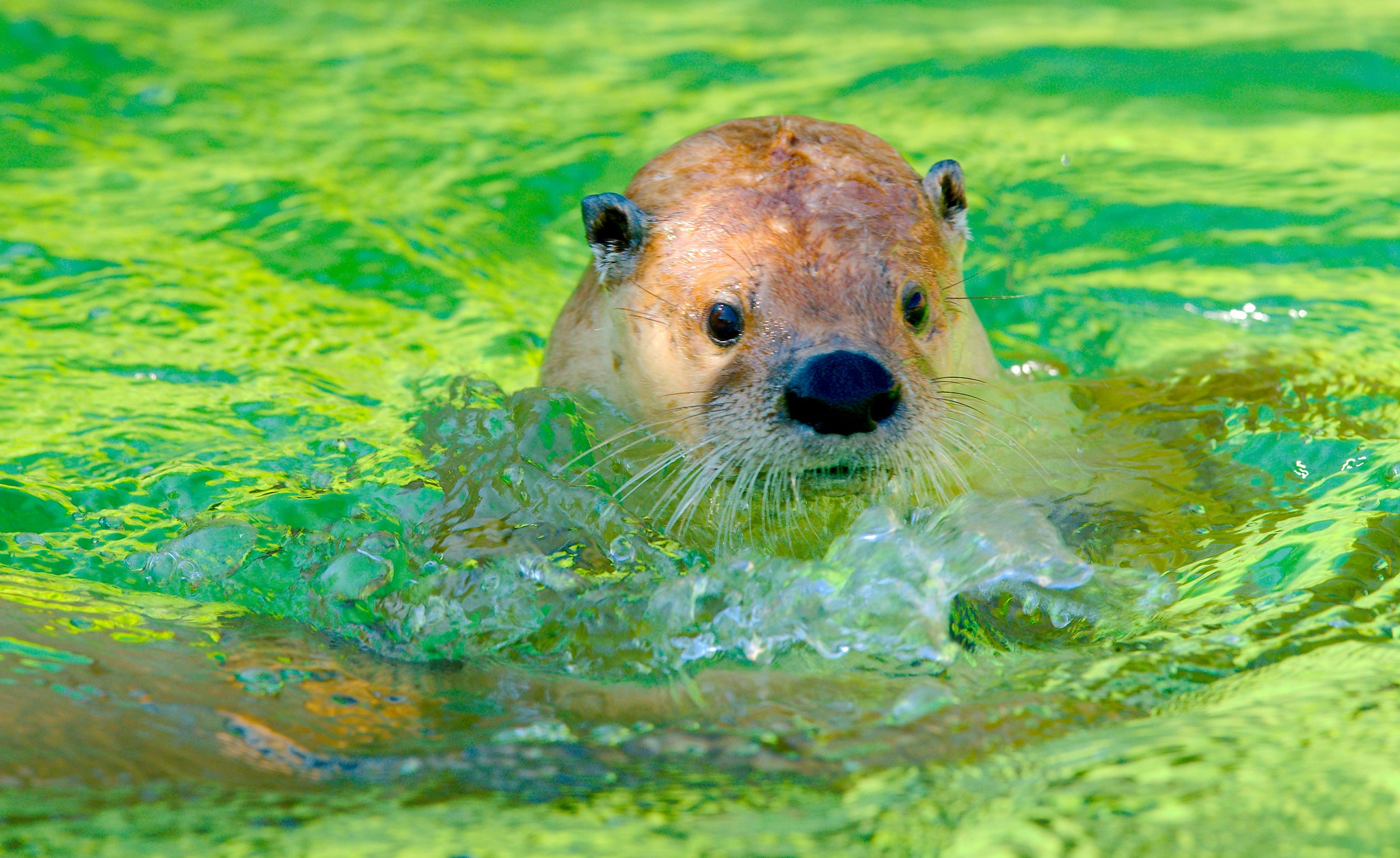 North American River Otter_1