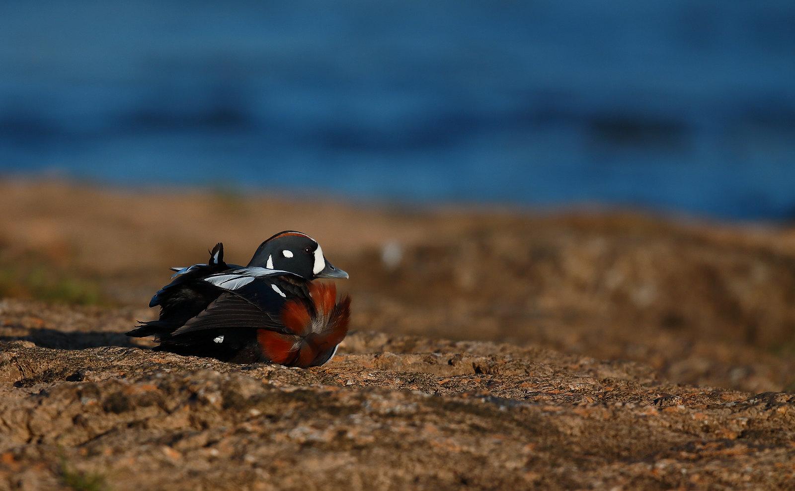 Harlequin Duck - drake
