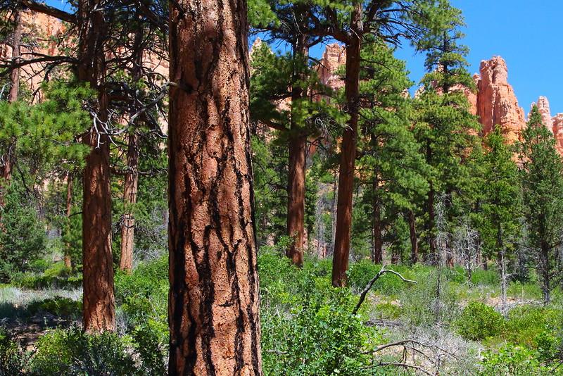 IMG_5884 Ponderosa Pine